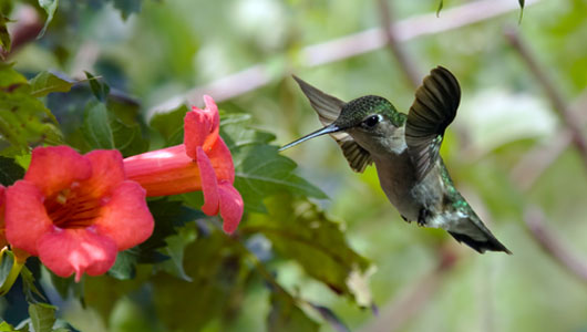 main_hummingbird