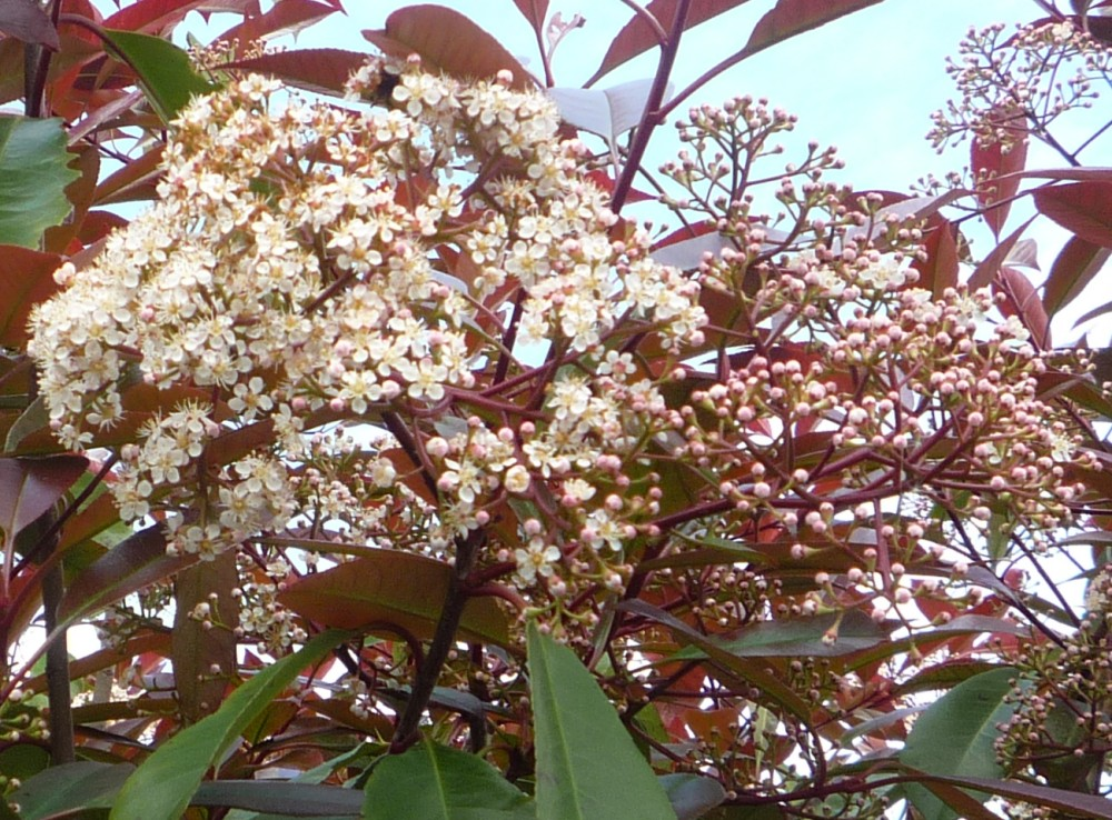 photinia-x-fraseri-Red-Robin-flower-1000